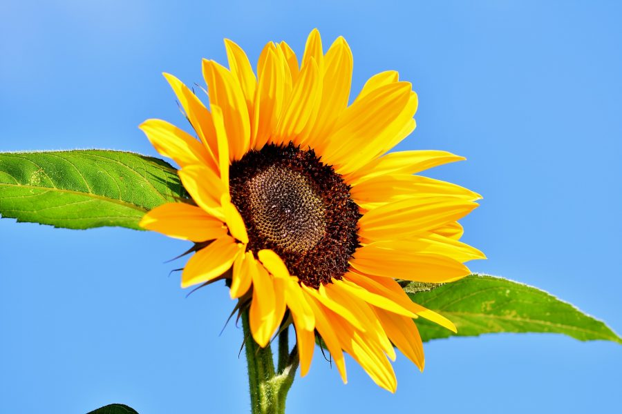 sunflower-3647024_1920